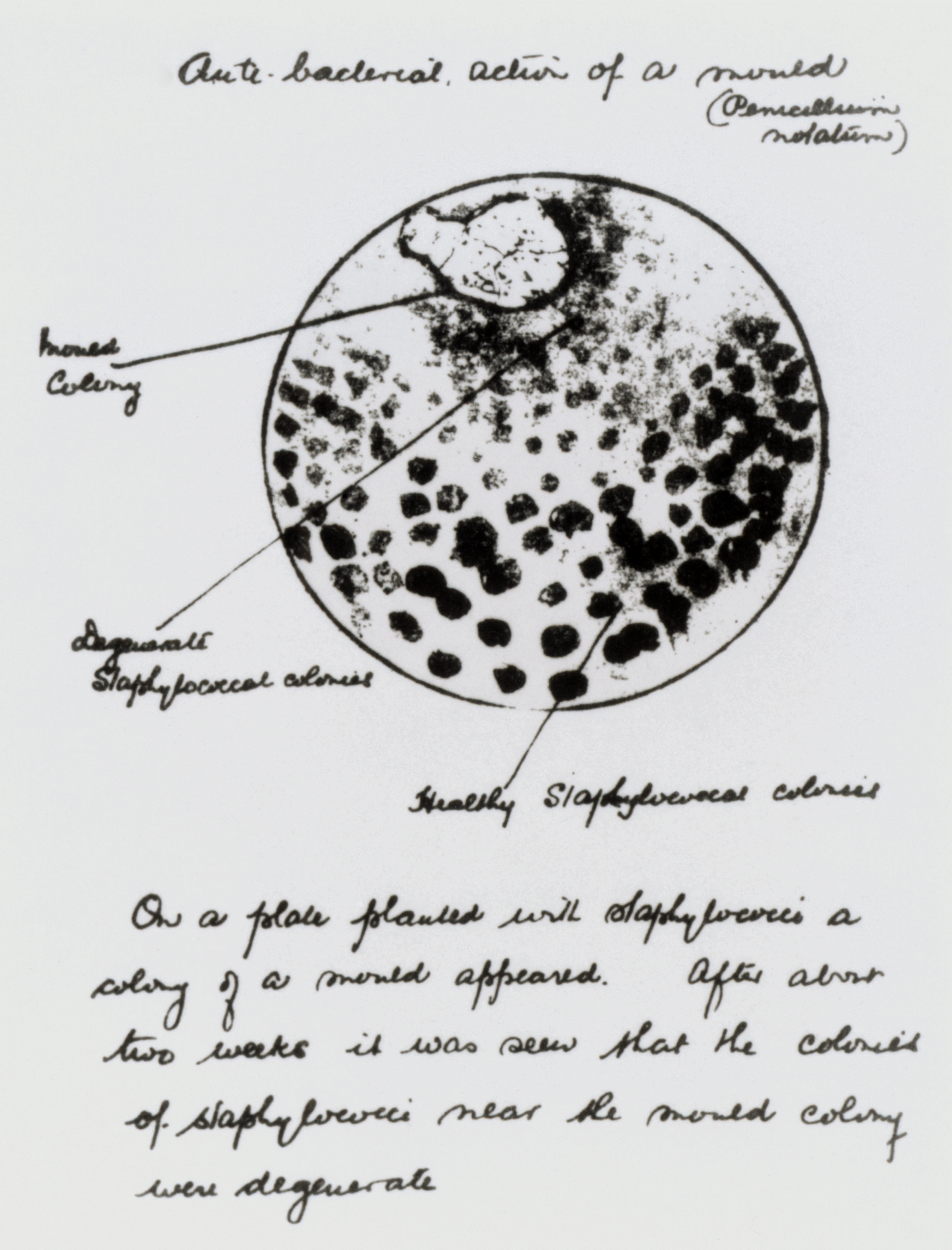 Credits notes on and a drawing of the original culture plate of the fungus penicillium notatum made by the scottish bacteriologist sir alexander fleming whilst pooptronica