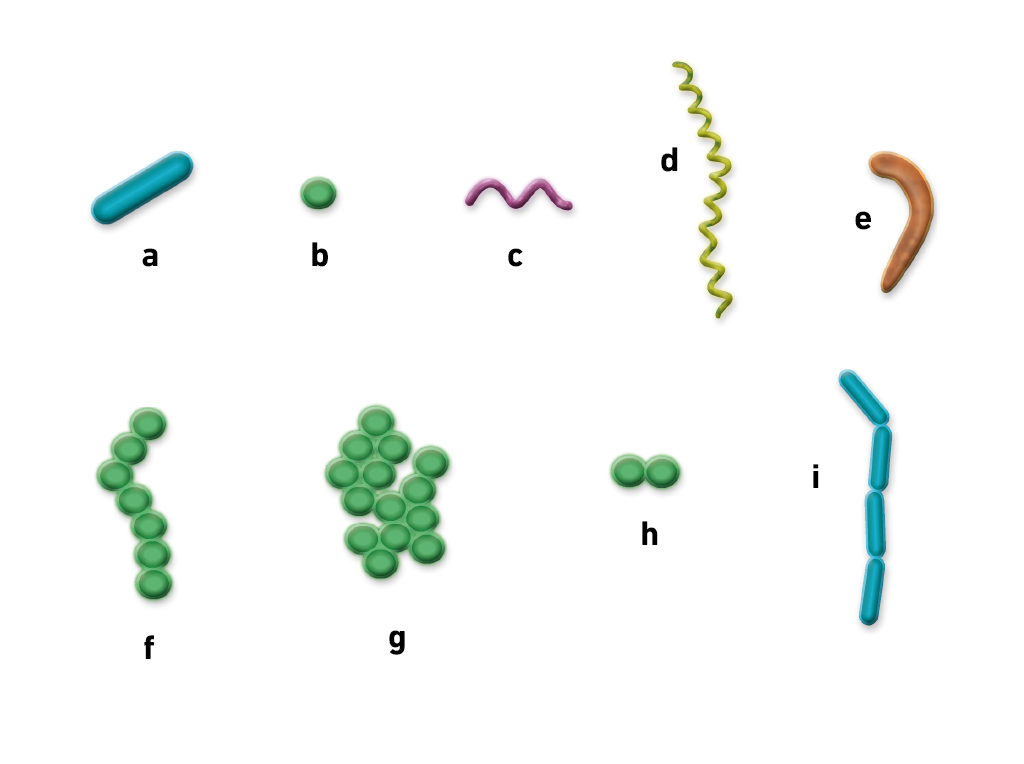 coccus bacteria diagram - photo #32